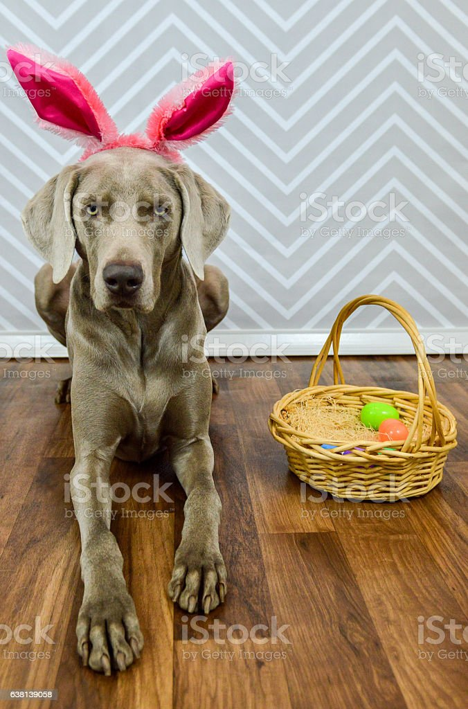 Easter Dog Wearing Bunny Ears and Laying with Easter Basket stock photo