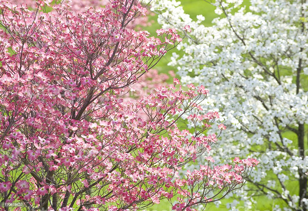 Easter Dogwood Blossoms royalty-free stock photo