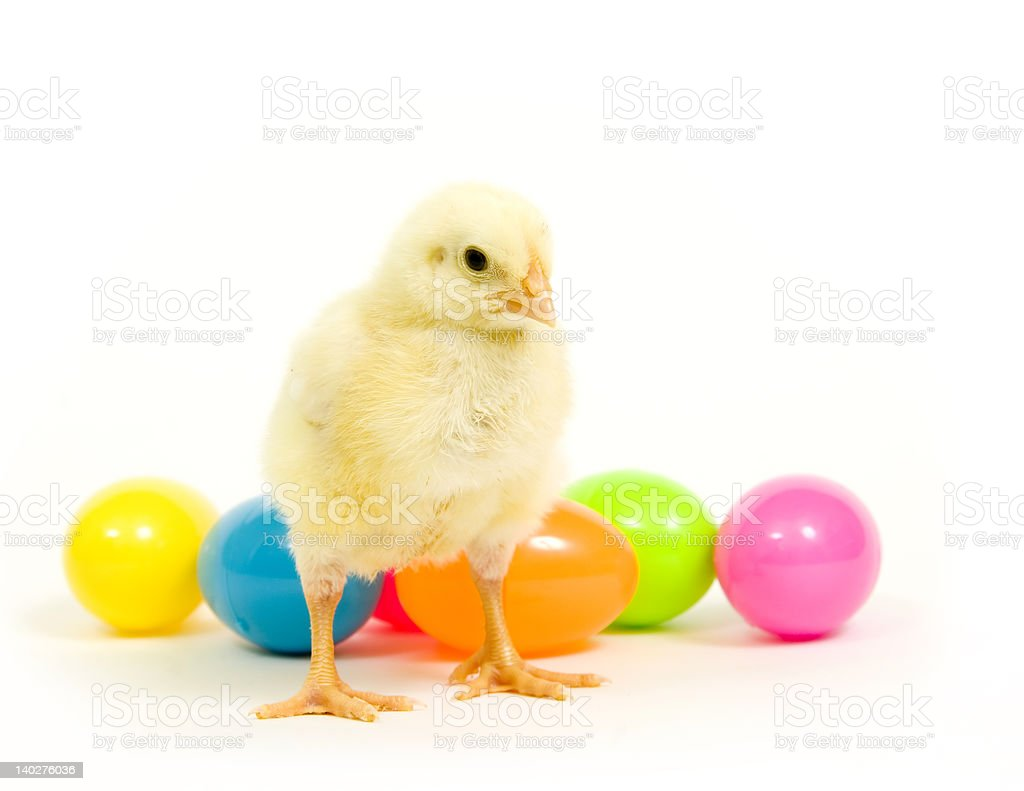 Easter eggs and baby chicken royalty-free stock photo