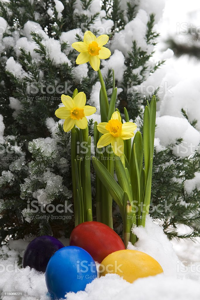 Easter eggs and narcissus in the snow stock photo