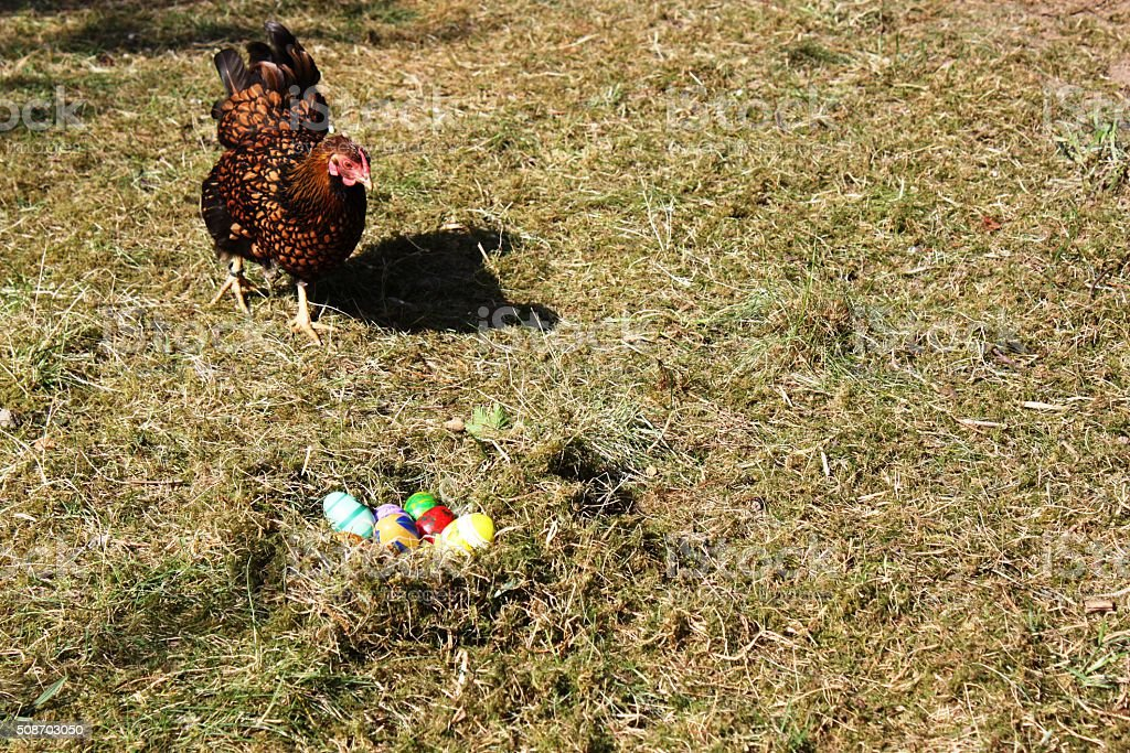 Easter Eggs nest and Golden Wyandotte Hen stock photo