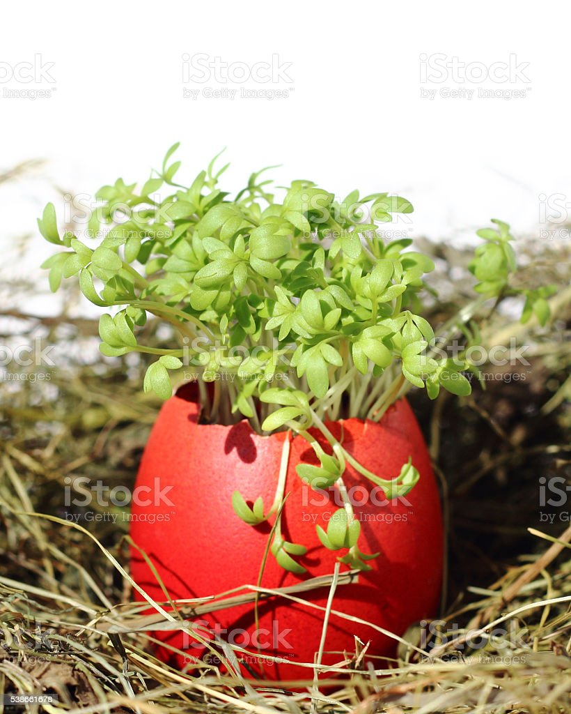 Easter eggs with garden cress stock photo