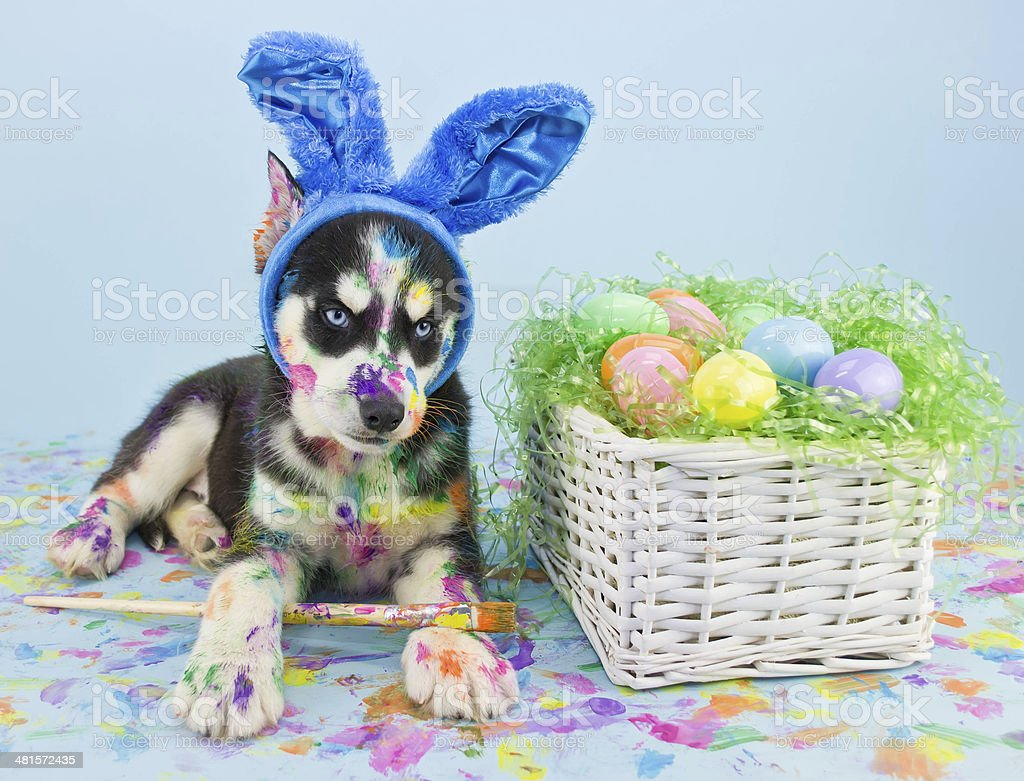 Easter Husky Puppy stock photo
