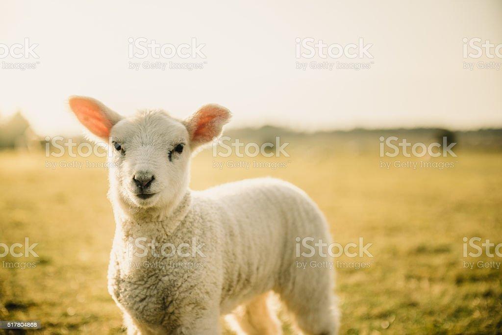 Easter Lamb stock photo