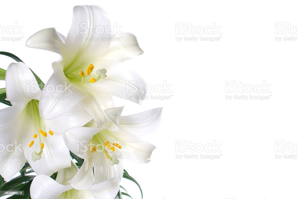 easter lilies for spring or celebrating the resurrection of Jesus stock photo