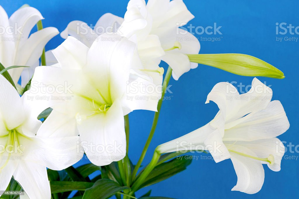 Easter Lilies On Blue royalty-free stock photo