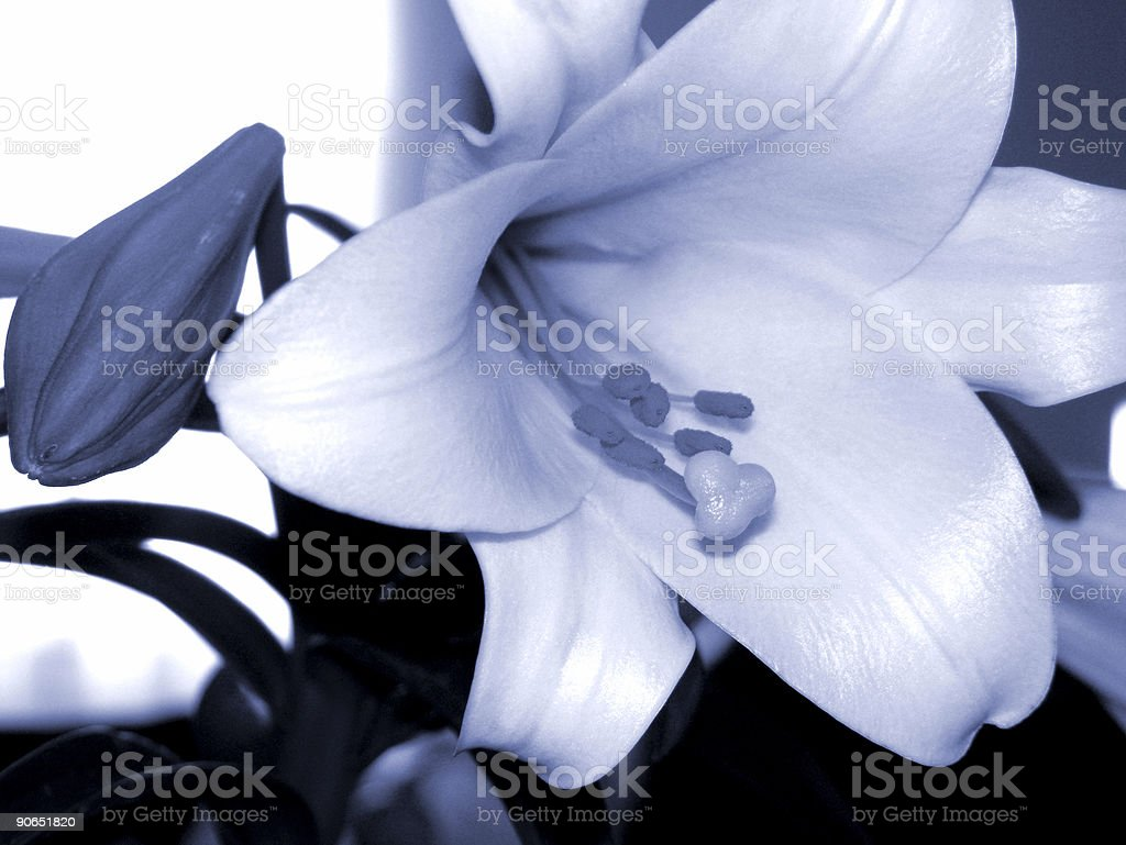 Easter Lilly royalty-free stock photo