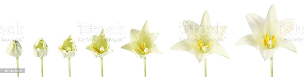 Easter Lily Blooming royalty-free stock photo