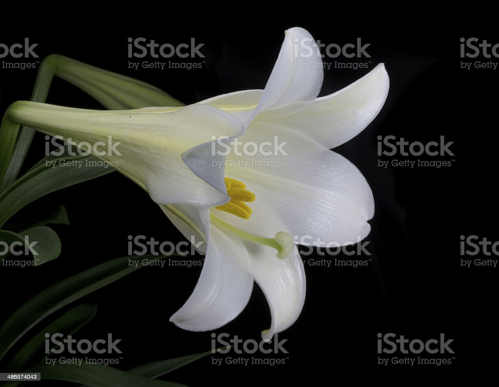 Easter Lily Blossom royalty-free stock photo