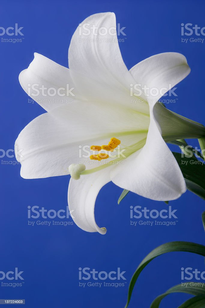 Easter Lily Closeup royalty-free stock photo