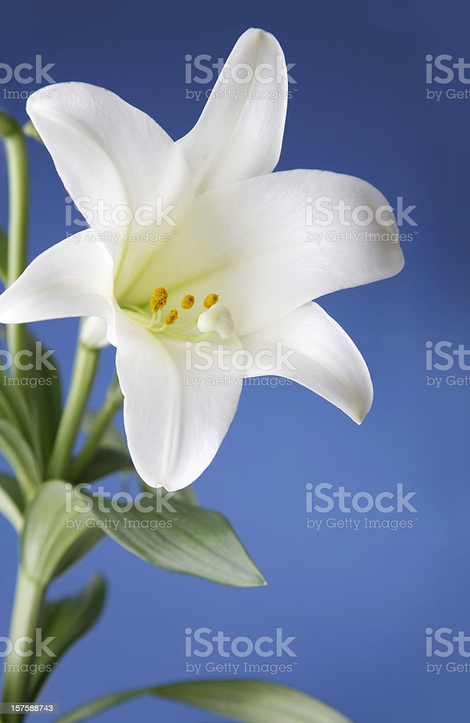 Easter Lily Flower on Blue Background stock photo