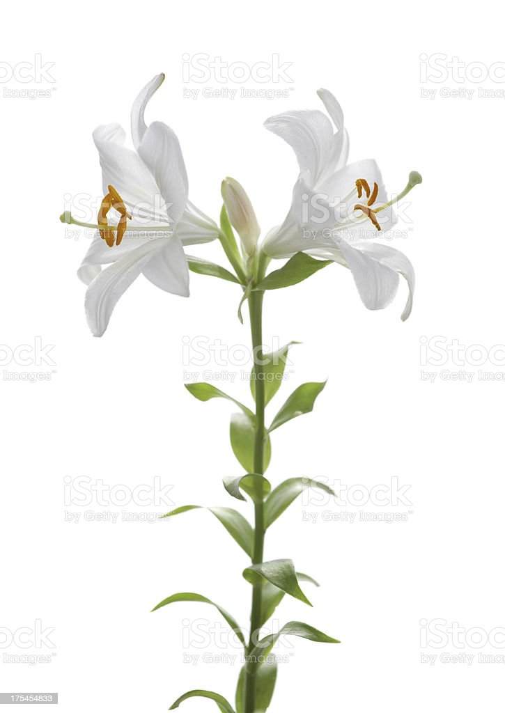 Easter lily isolated on white stock photo