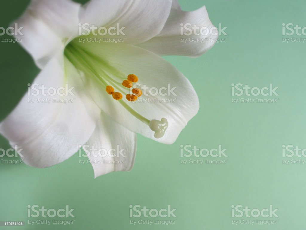 Easter Lily on Green stock photo