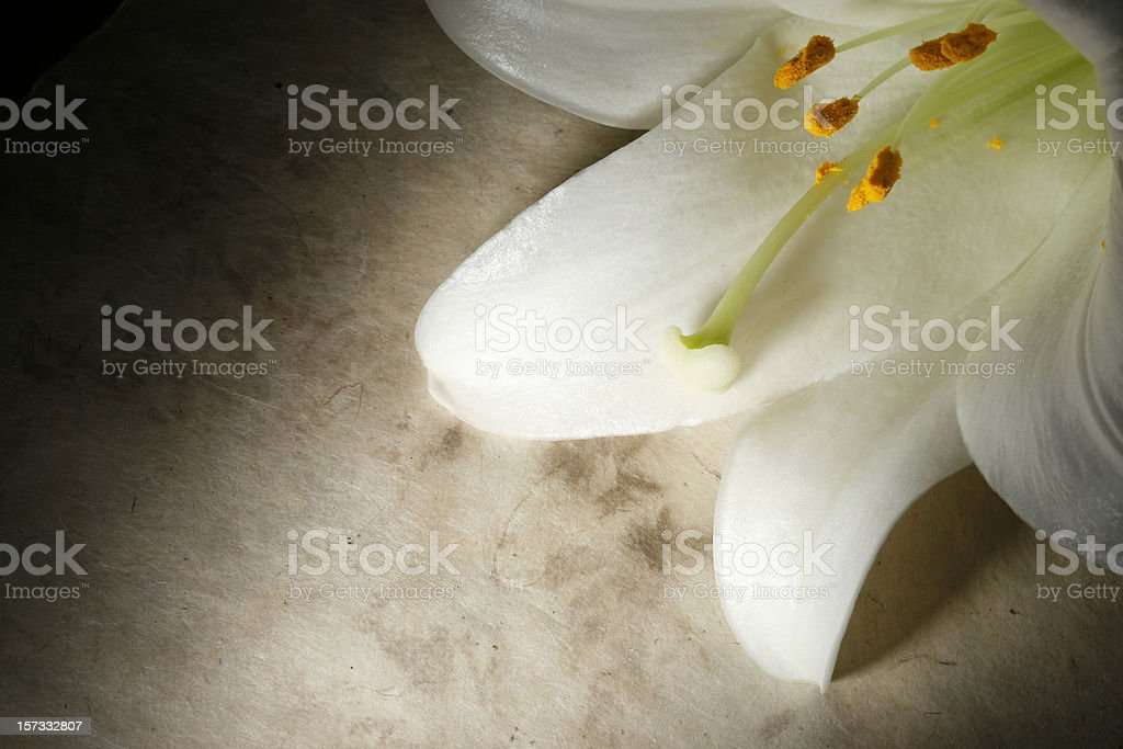 Easter Lily on Grunge Background royalty-free stock photo