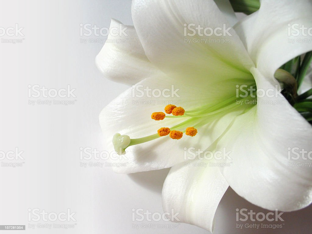Easter Lily on White stock photo