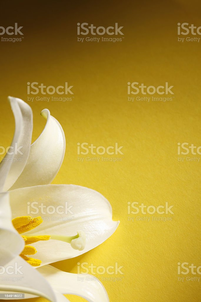 Easter Lily on Yellow Background stock photo