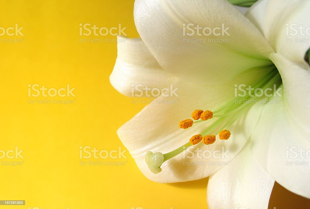 Easter Lily on Yellow royalty-free stock photo