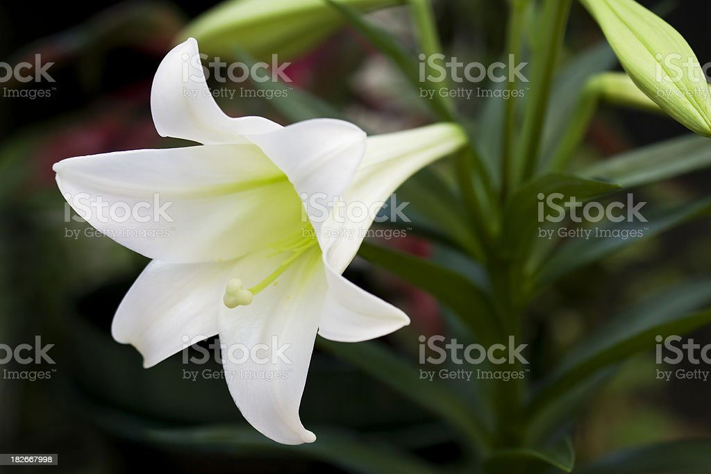 Easter Lily royalty-free stock photo