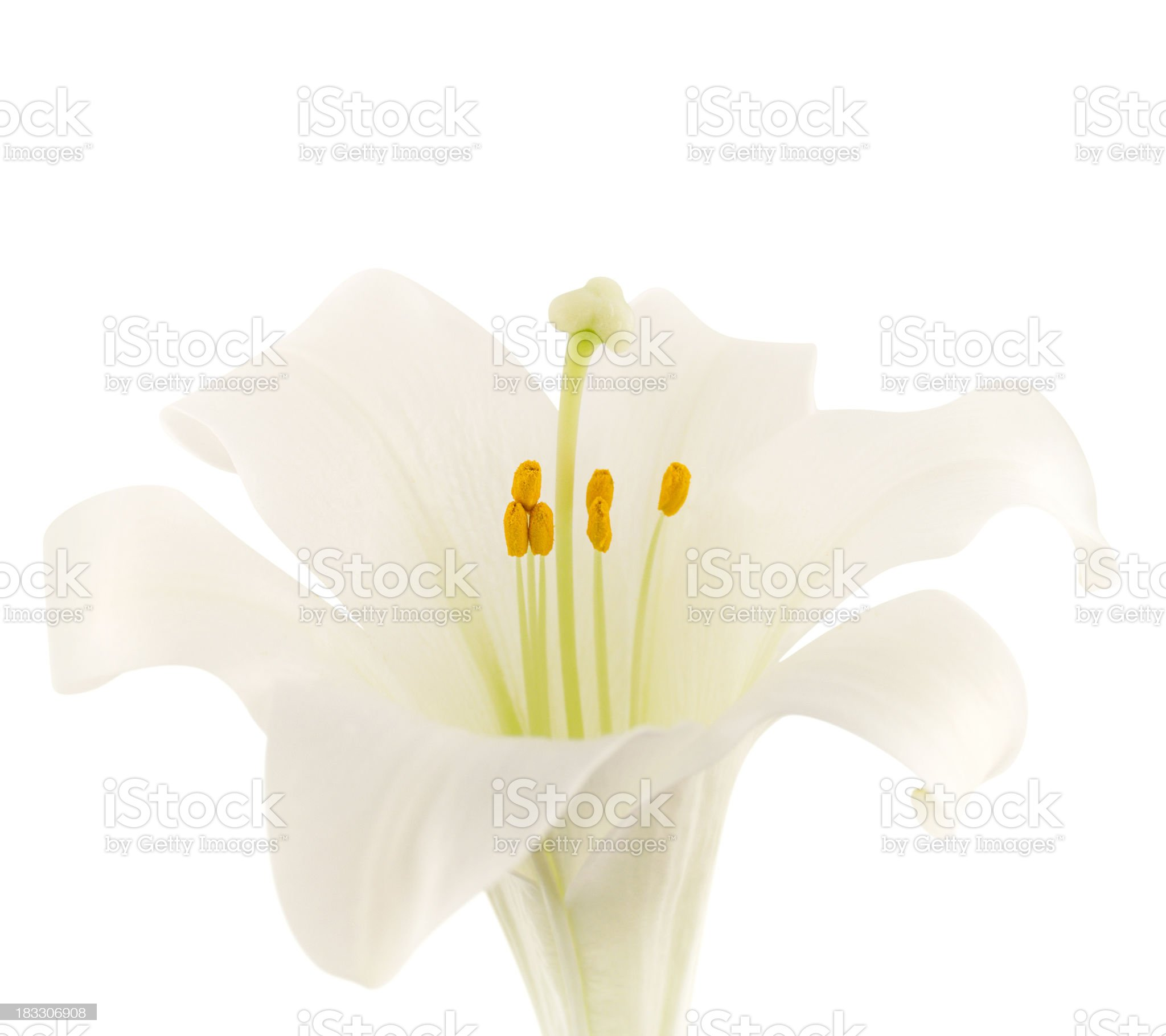 Easter Lily (with clipping path) royalty-free stock photo