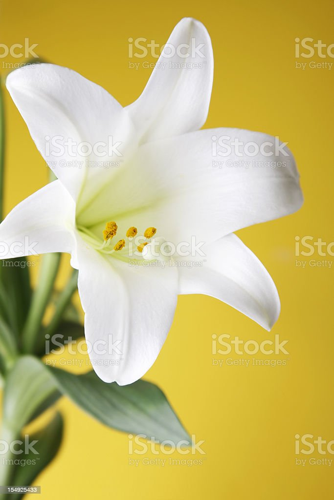 Easter Lily Plant on Yellow Background royalty-free stock photo