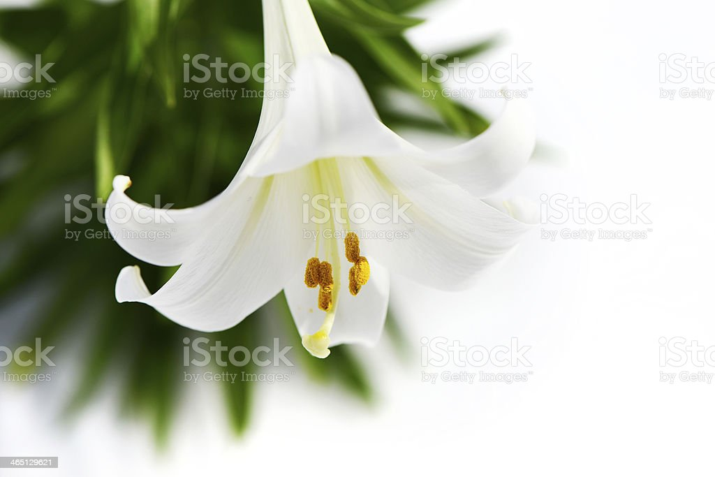 Easter Lily solitaire high key stock photo