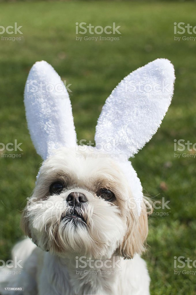 Easter Puppy royalty-free stock photo