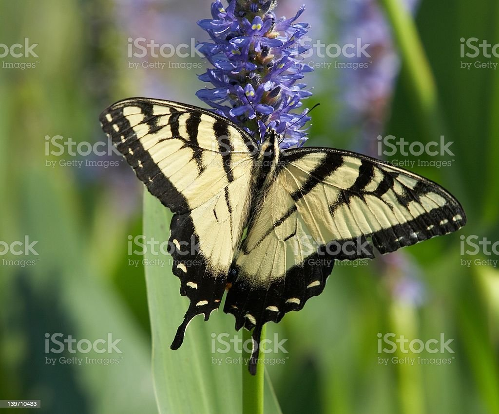Easter tiger swallowtail royalty-free stock photo