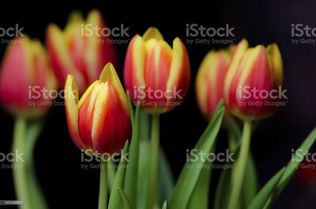 easter tulips stock photo