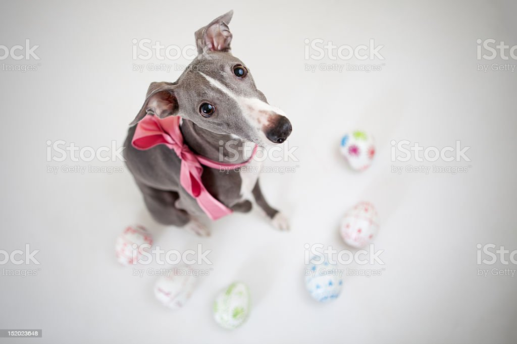 Easter whippet royalty-free stock photo