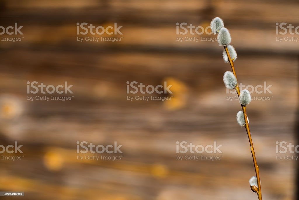 Easter willow stock photo