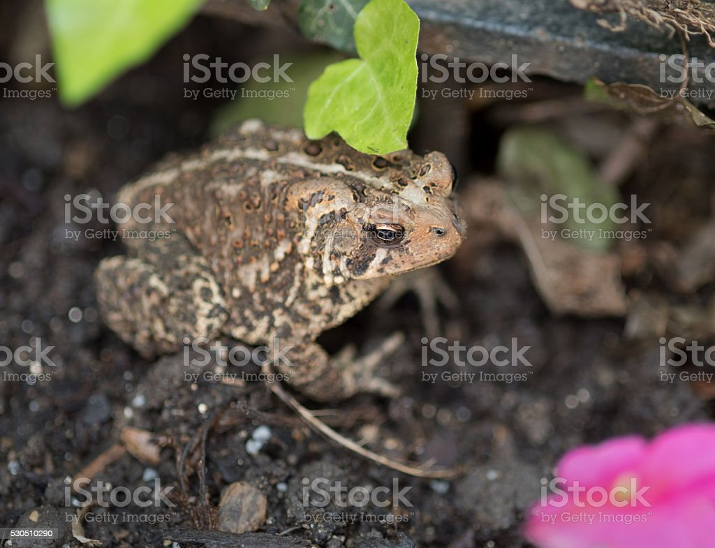 Eastern American Toad in Garden with Focus on Eye stock photo
