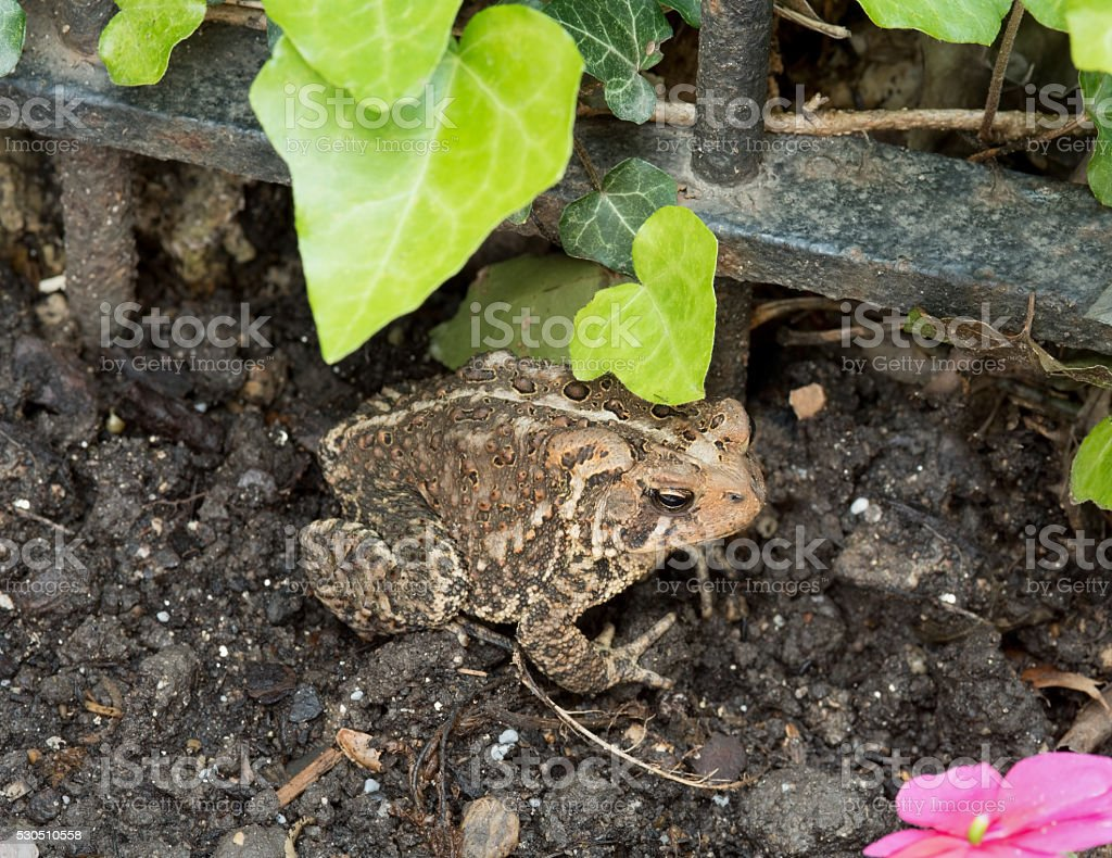 Eastern American Toad in the Garden stock photo