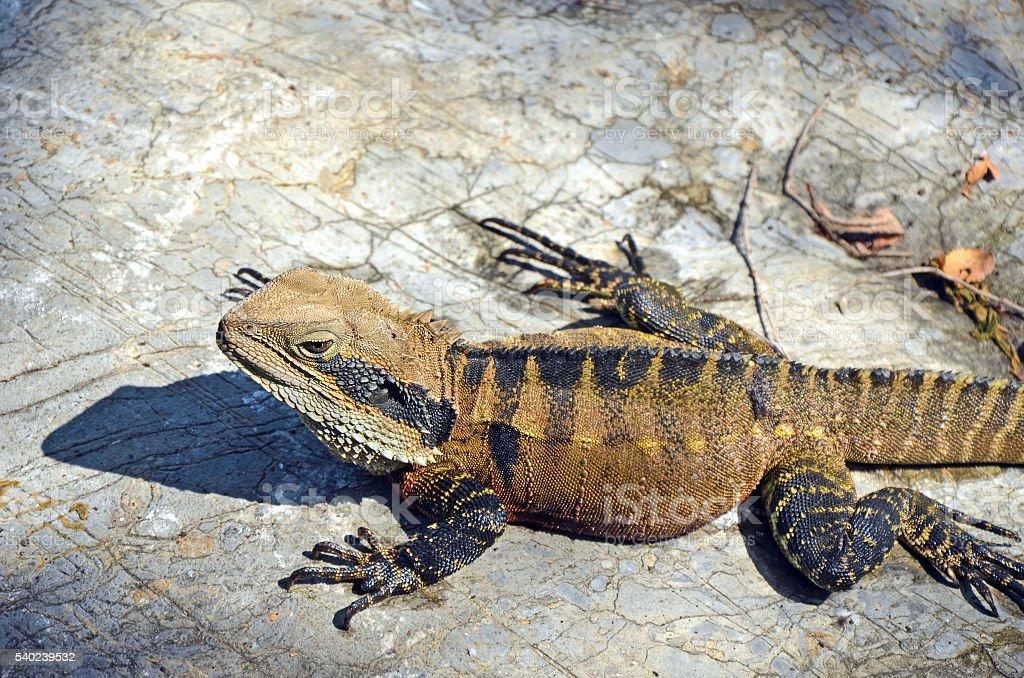 Eastern Australian Watern Dragon stock photo