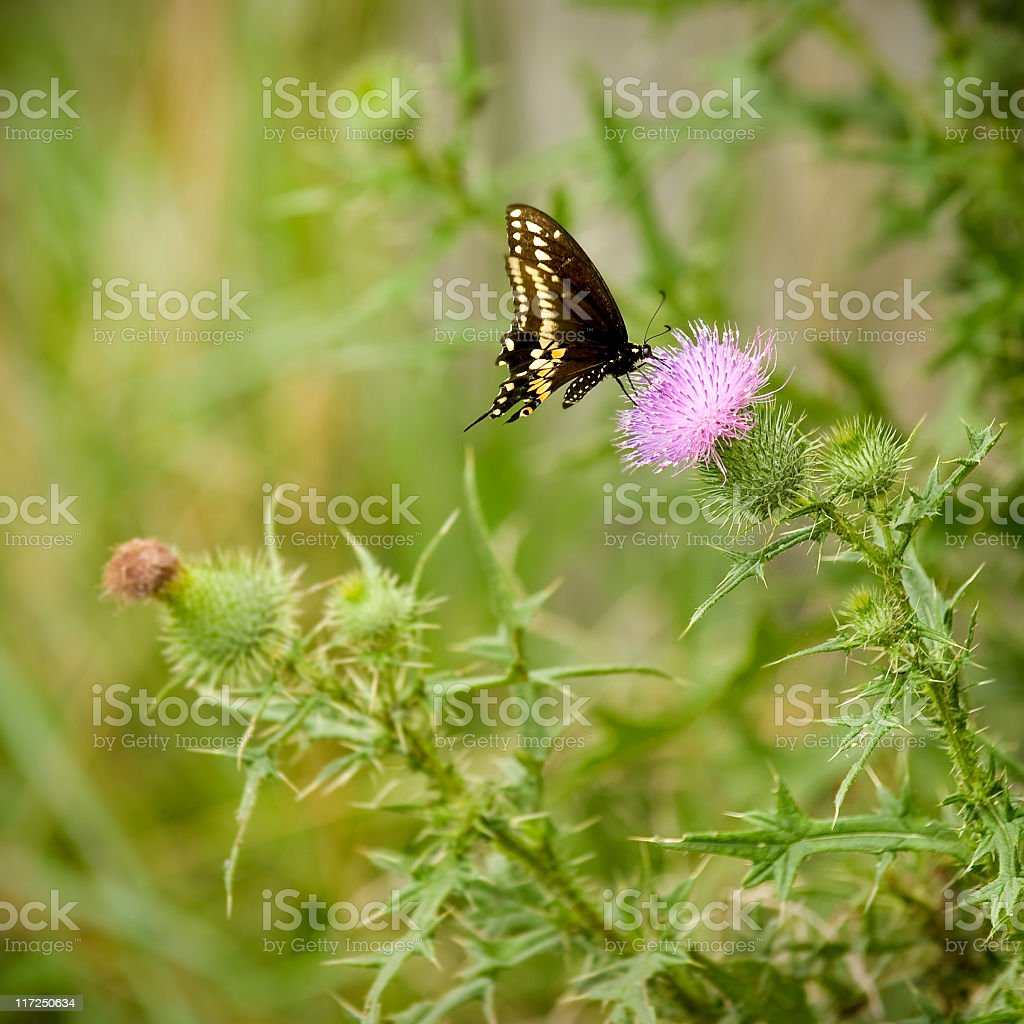 Eastern Black Swallowtail Butterfly stock photo