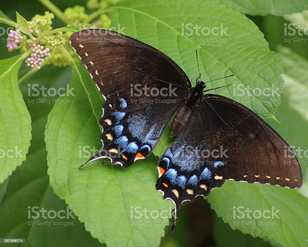 Eastern Black Swallowtail butterfly photo libre de droits