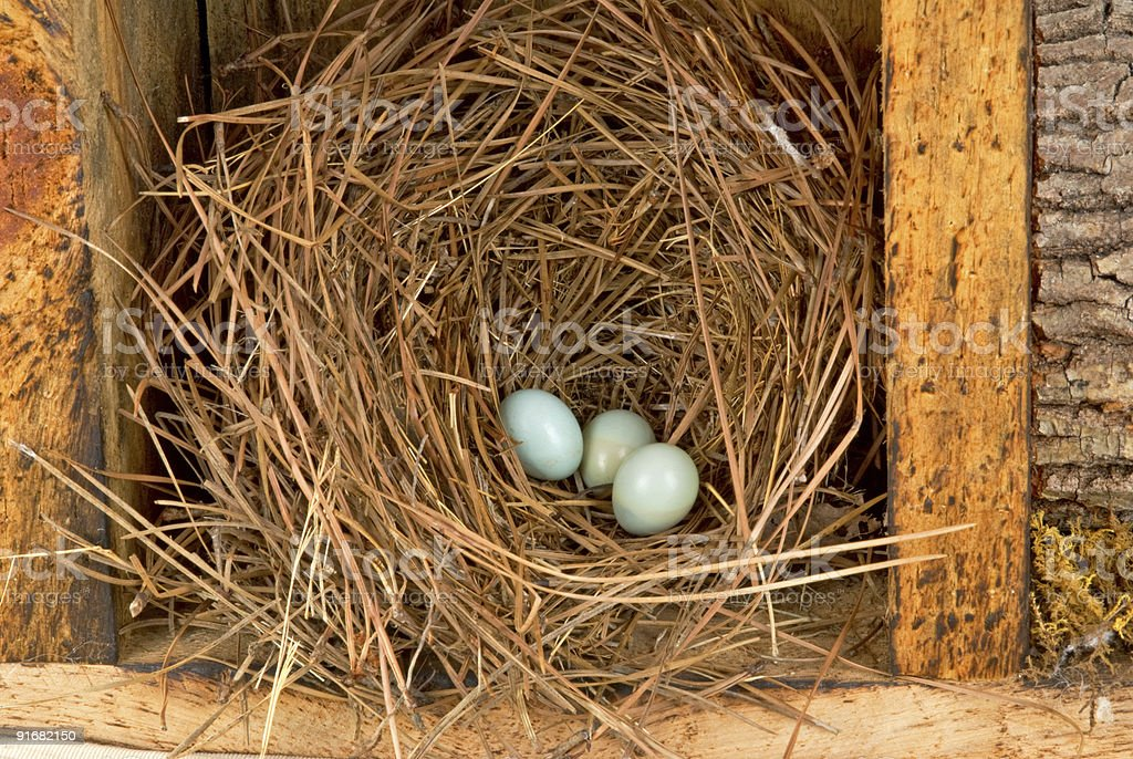 Eastern bluebird eggs in a natural pine straw nest royalty-free stock photo