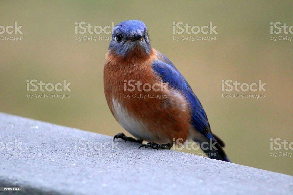 Eastern Bluebird (Sialia sialis) in December stock photo