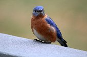 Eastern Bluebird (Sialia sialis) in December