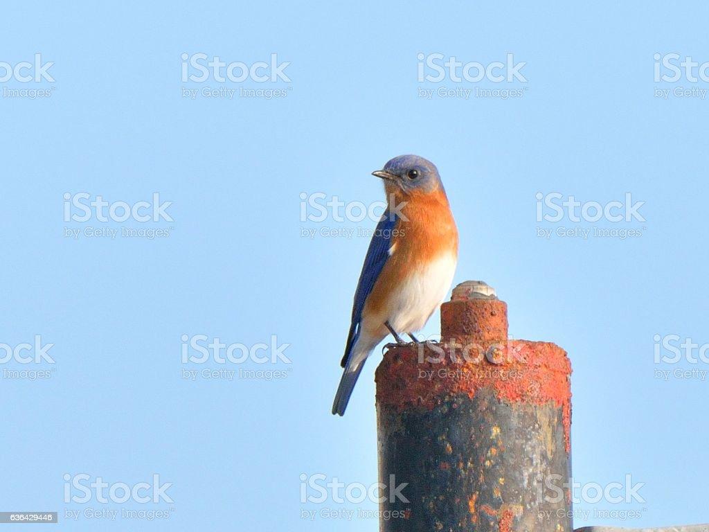 Eastern Bluebird in Winter stock photo