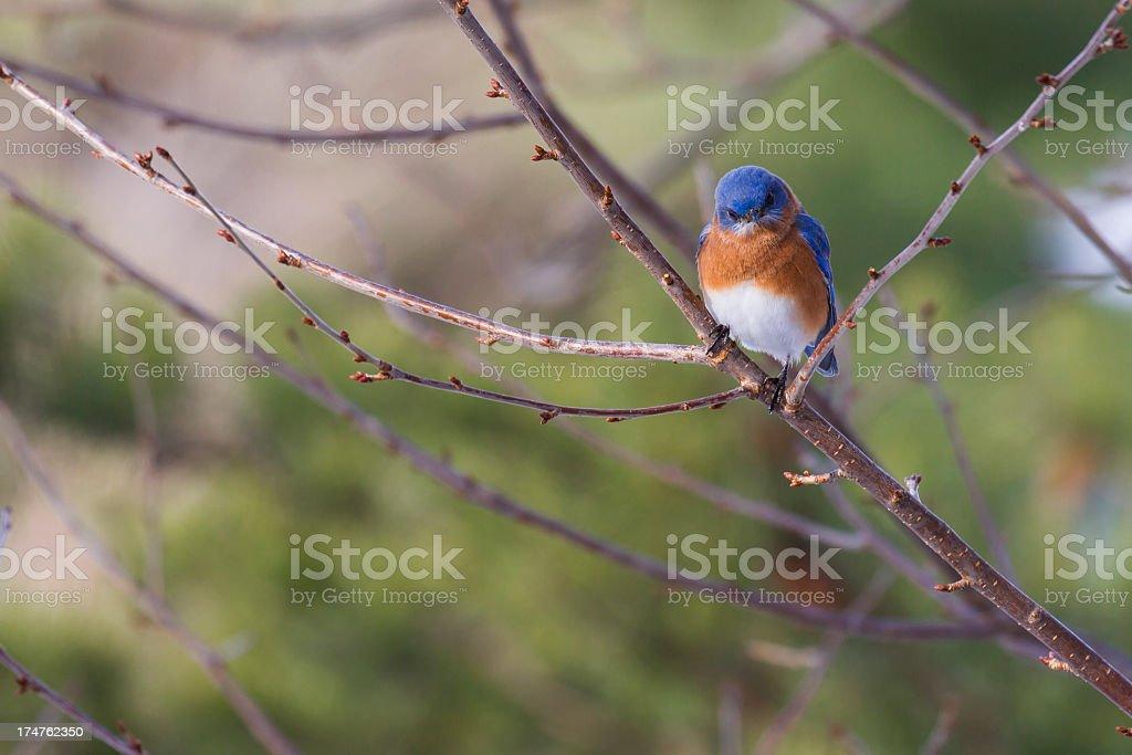 Eastern Bluebird (Sialia sialis) Look of Anger stock photo