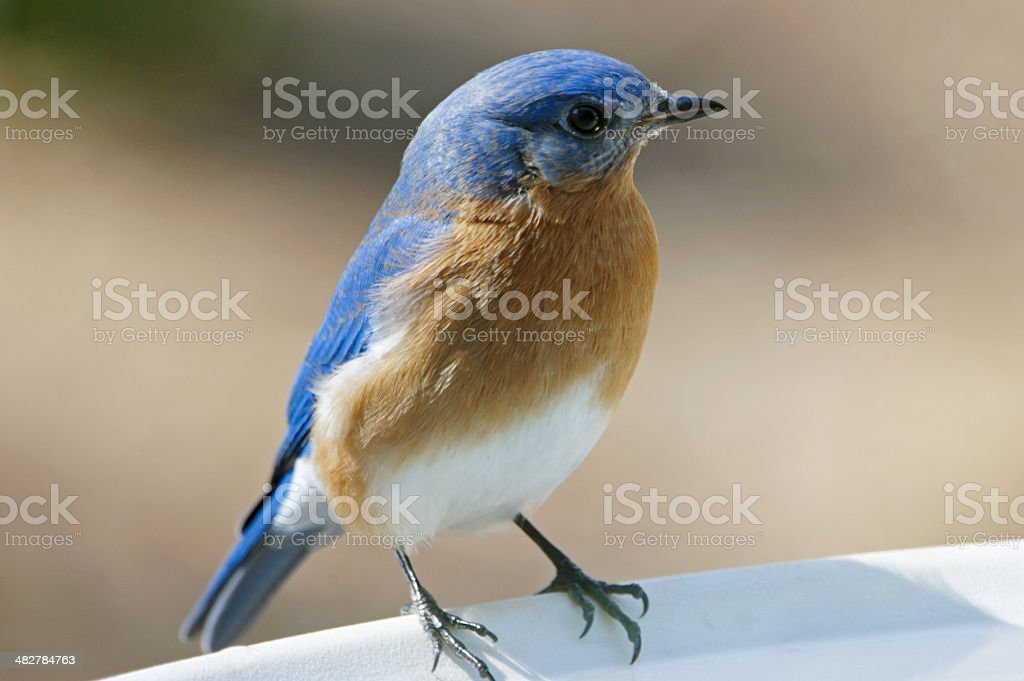 Eastern Bluebird Male Close-up stock photo