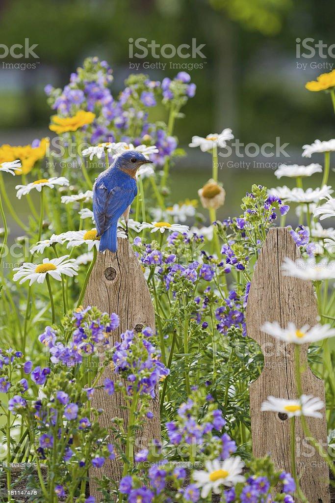 Eastern Bluebird, male stock photo