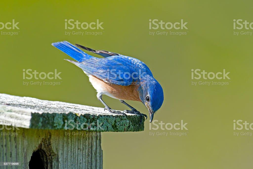 Eastern Bluebird on Nest Box stock photo