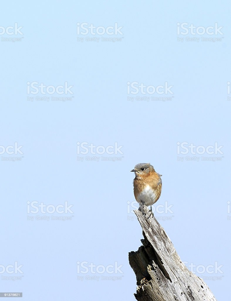 Eastern Bluebird One stock photo