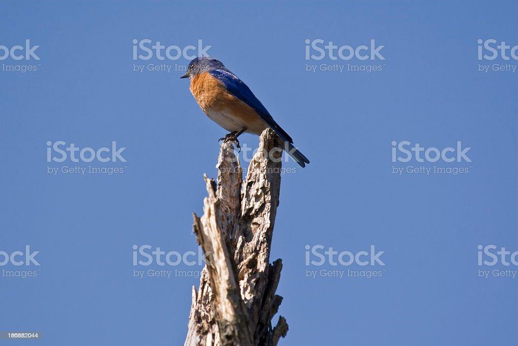 Eastern Bluebird (Sialia sialis) Perched Dead Tree stock photo