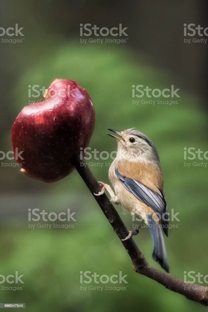 Eastern BlueBird perched on a branch eating an apple stock photo