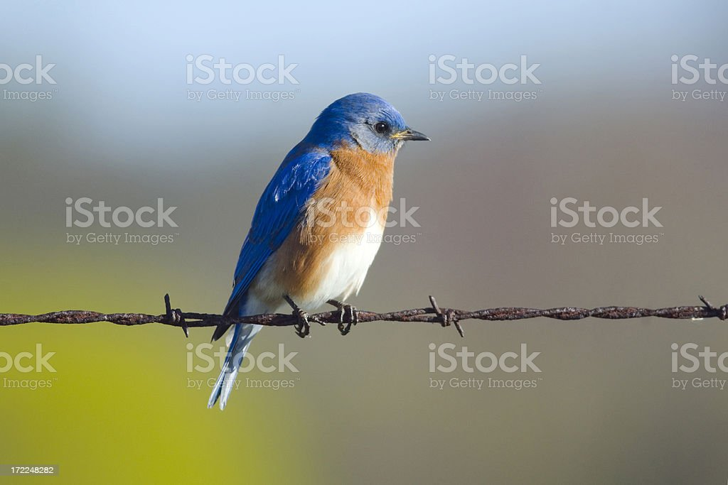 Eastern Bluebird(Sialia sialis) (Male) stock photo