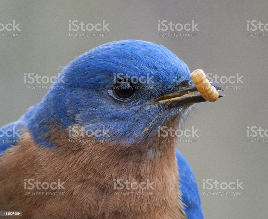 Eastern bluebird ( Sialia sialis ) stock photo