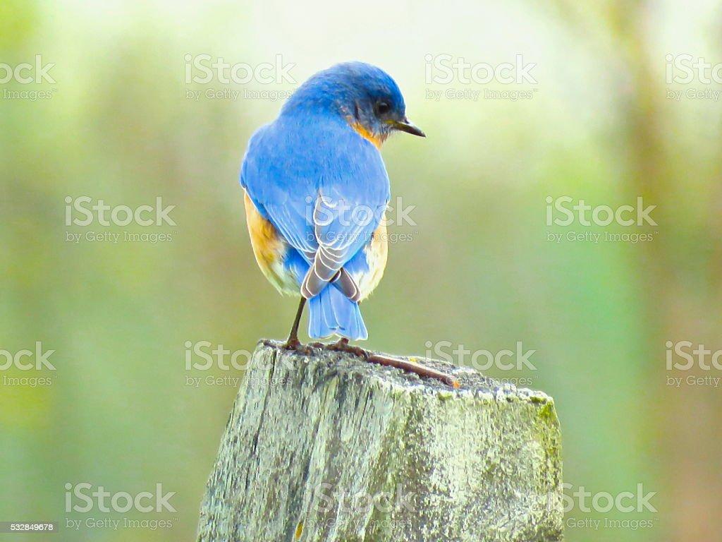 Eastern bluebird (Scalia Sialis). stock photo