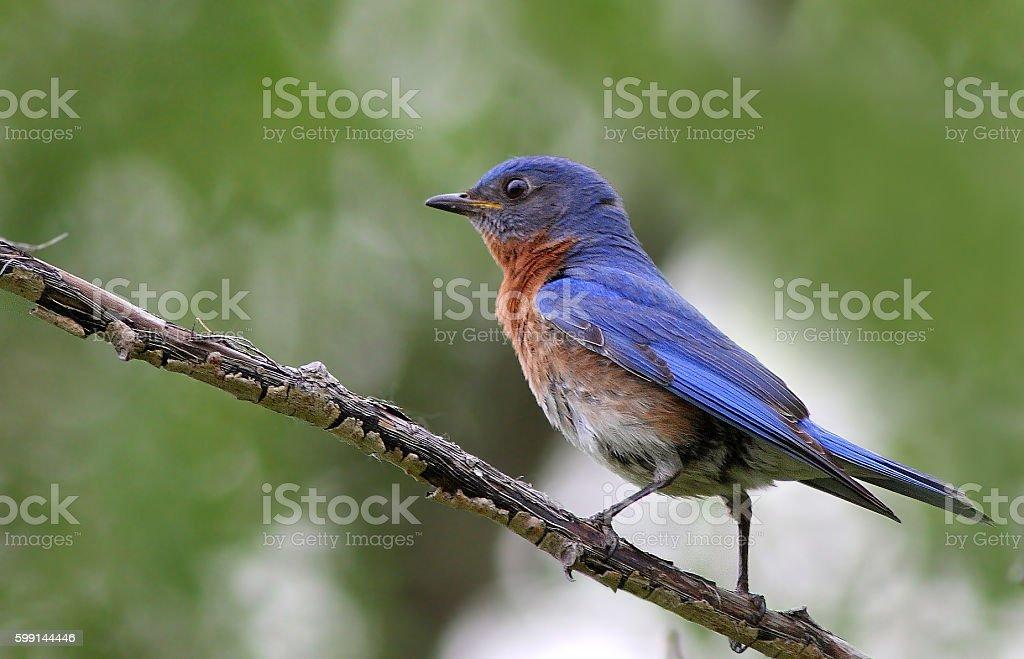 eastern bluebird (Sialia sialis) stock photo